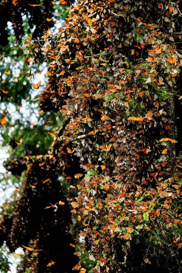 mexique-papillons-monarques-valle-bravo