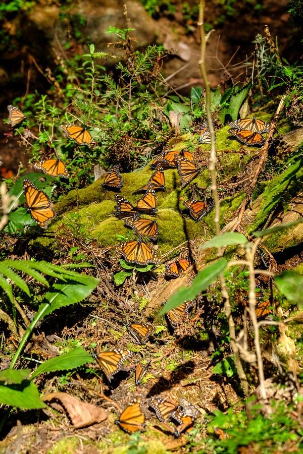 mexique-papillons-monarques