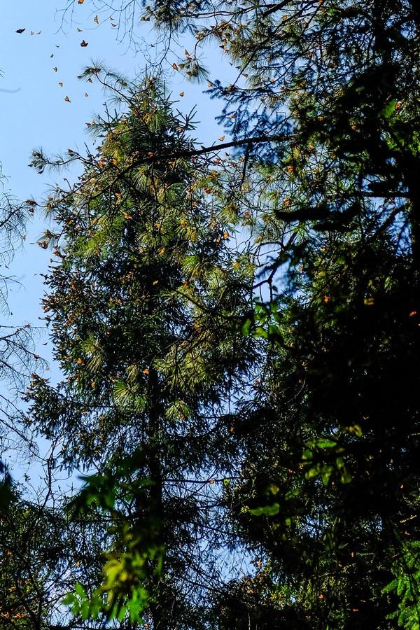 mexique-sanctuaire-papillons-monarques