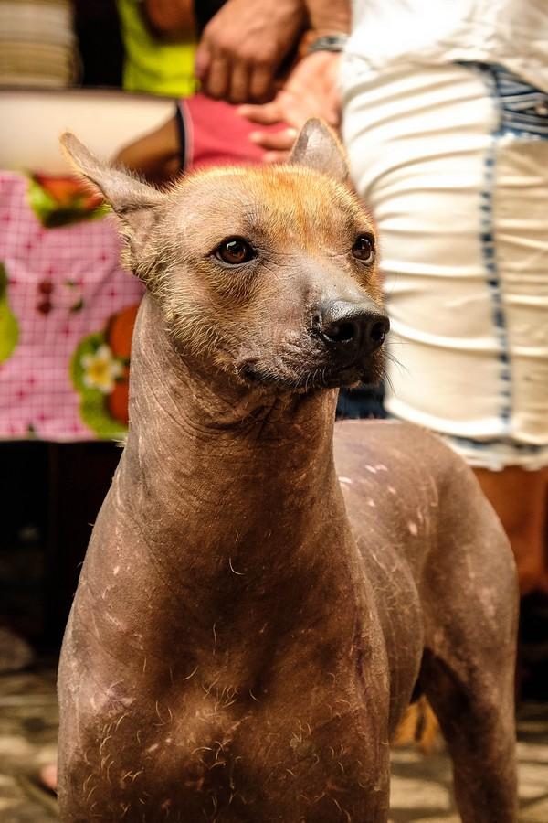 Les magnifiques chiens sans poils du Pérou.