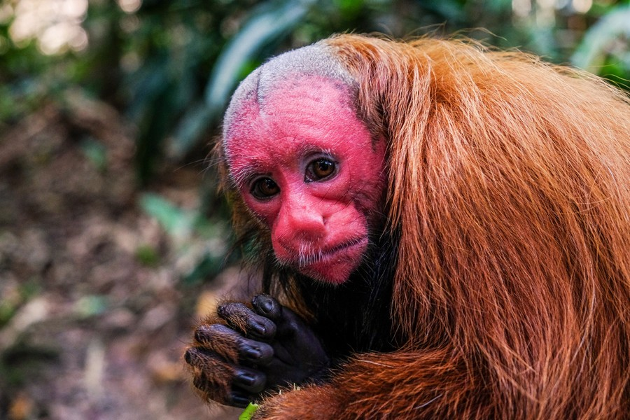 Un des singes résidents du Mariposario Pilpintuwasi, à Iquitos.