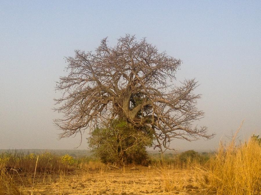 Baobab en Afrique au Burkina Faso.