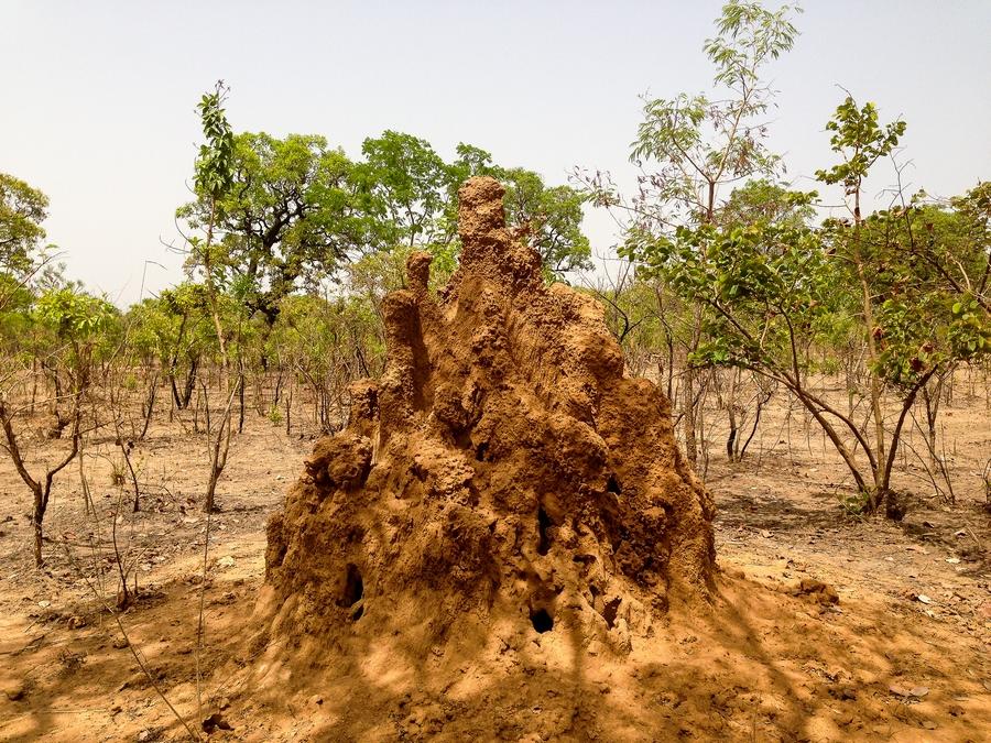 Termitière dans la région de Gaoua, Burkina.