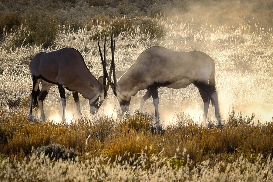Combat de Gemsbok, ou oryx, dans le Kalahari, en Afrique du Sud.