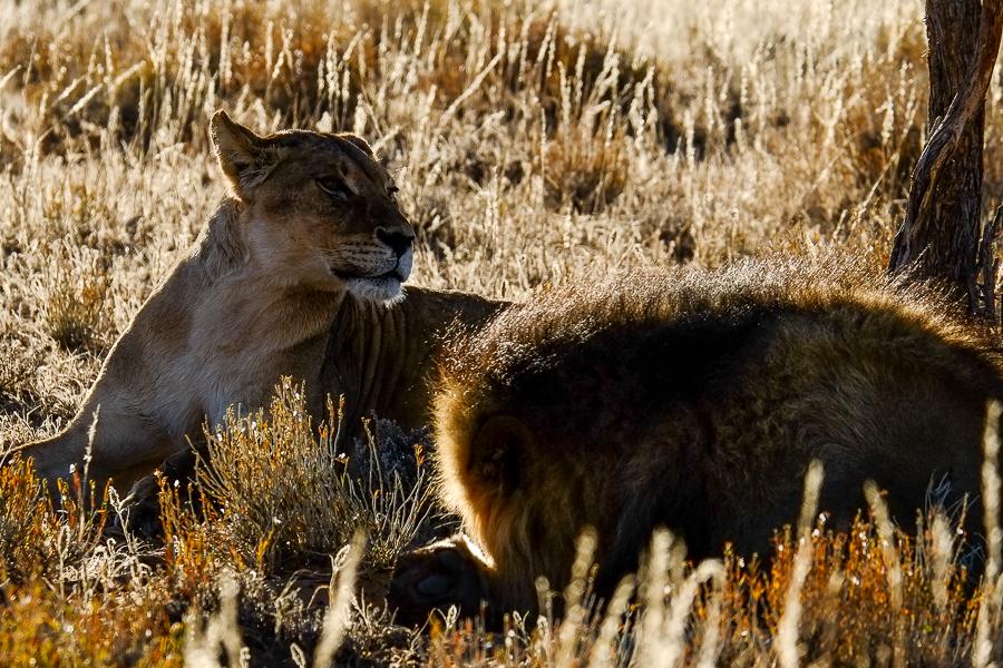 Couple de lions dans le Kalahari, en Afrique du Sud.