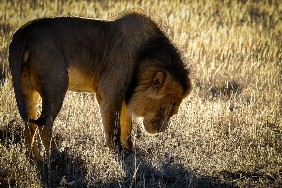 Lion assoupi au matin dans le Kalahari, en Afrique du Sud.