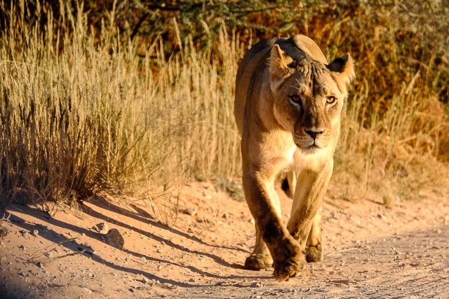 Une lionne sur la piste dans le Kalahari, en Afrique du Sud.