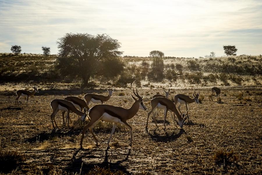 Les springboks rentrent au soleil couchant dans le Kalahari, en Afrique du Sud.