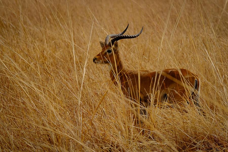 Antilope mâle dans le parc de la Pendjari, au Bénin.