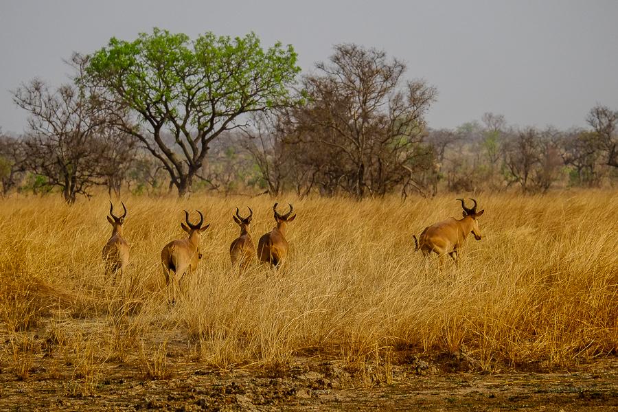 Bubales dans le parc de la Pendjari, au Bénin.