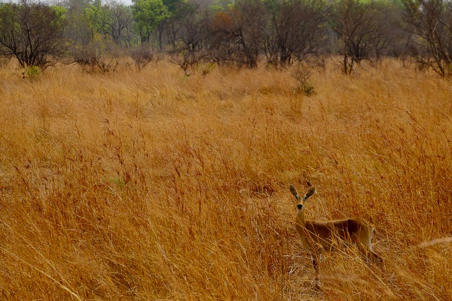 Antilope cachée dans la savane du parc de la Pendjari, au Bénin.