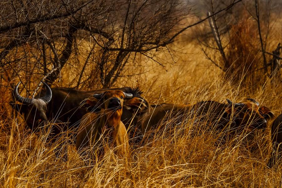BUffles dans la savane du parc de la Pendjari, au Bénin.