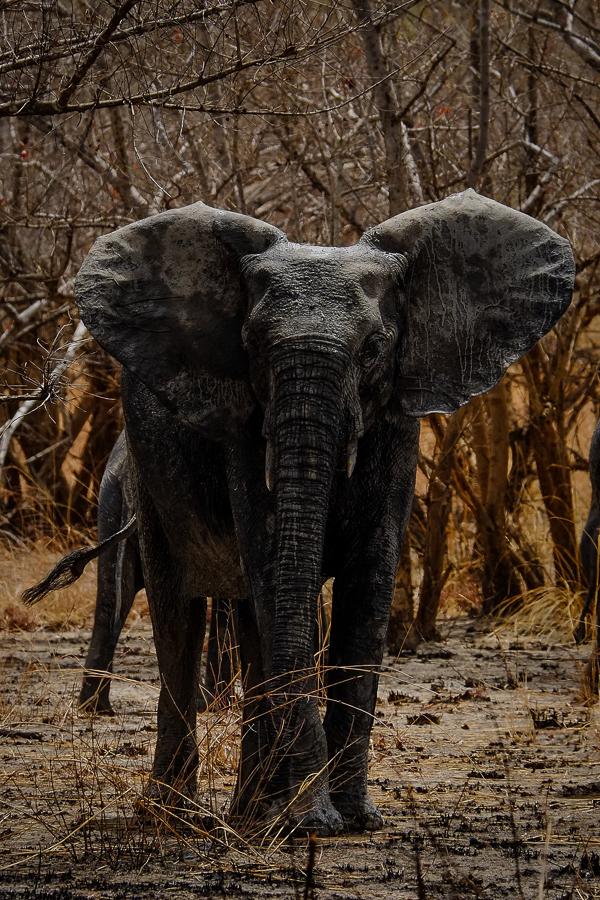 Eléphant menaçant dans le parc de la Pendjari, au Bénin.