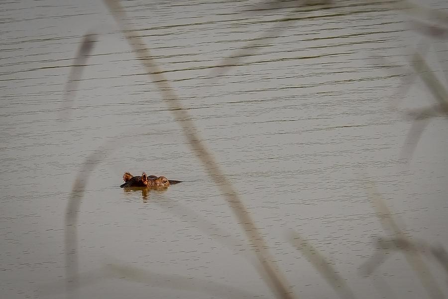 Hippopotame dans un lac dans le parc de la Pendjari, au Bénin.