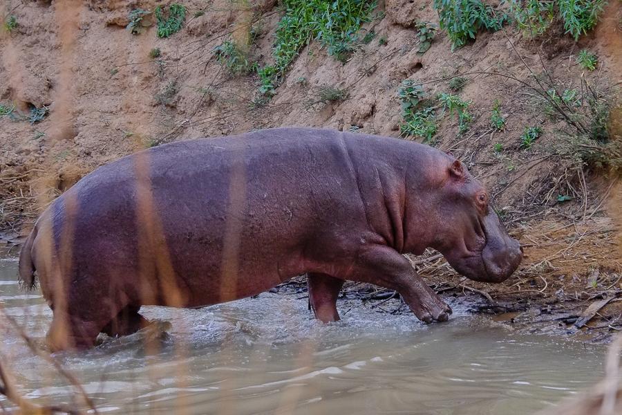 Hippopotame hors de l'eau dans le parc de la Pendjari, au Bénin.