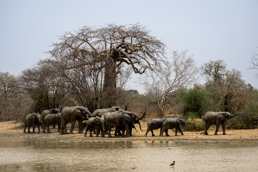 Eléphants et baobab dans le parc de la Pendjari, au Bénin.