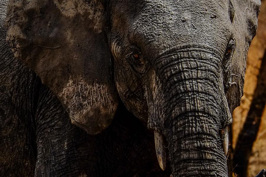 Portrait d'éléphant dans le parc de la Pendjari, au Bénin.