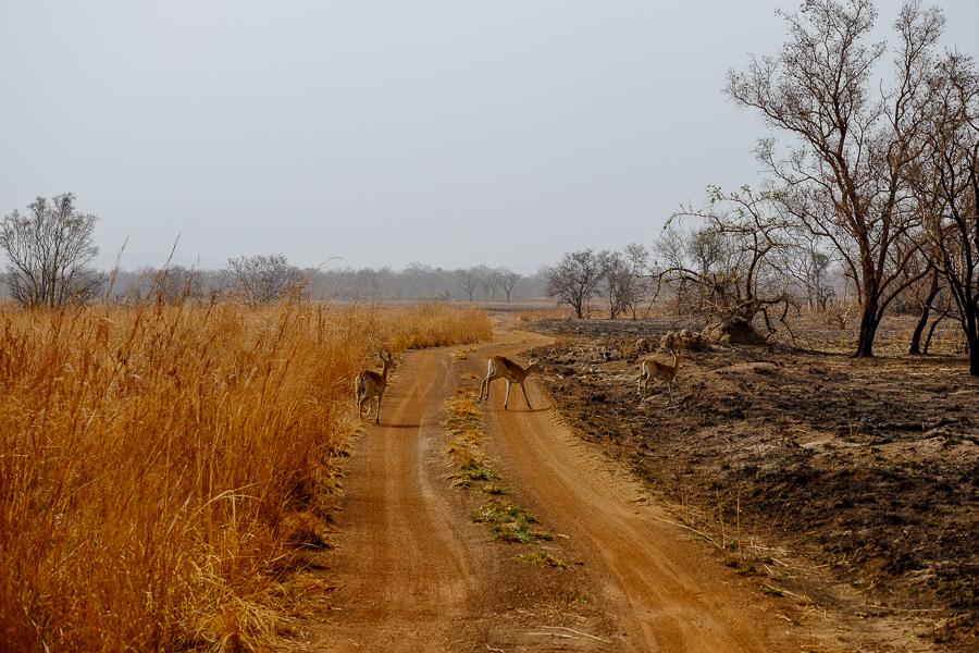 Antilopes dans le paysage du parc de la Pendjari, au Bénin.