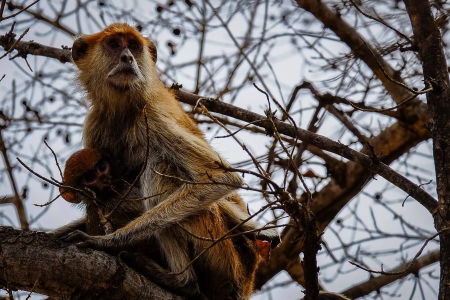 SInge et sa progéniture dans le parc de la Pendjari, au Bénin.