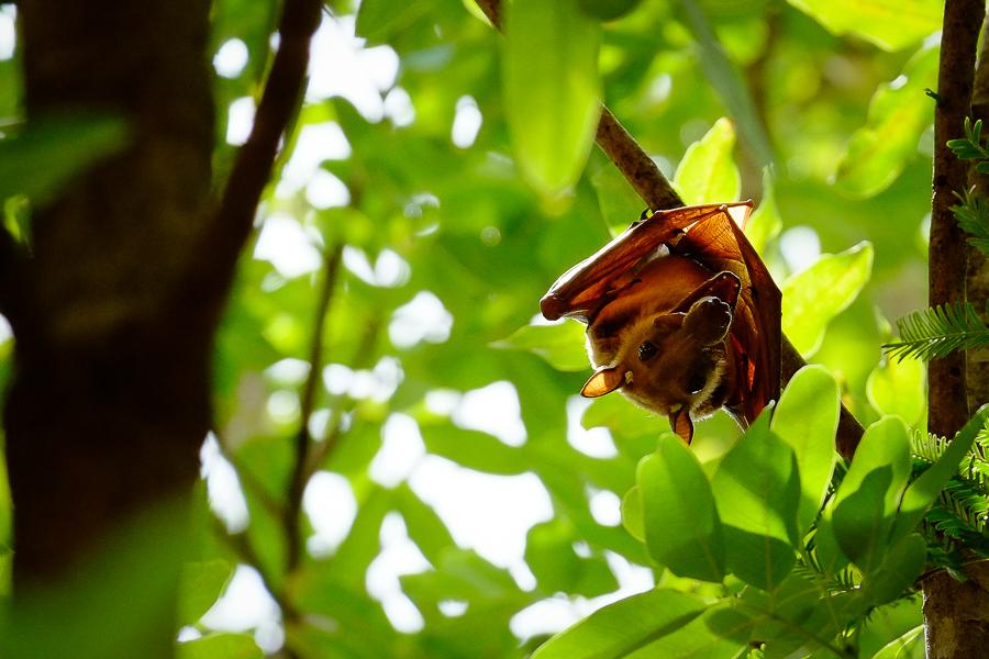 Chauve-souris dans un arbre dans le parc de la Pendjari, au Bénin.