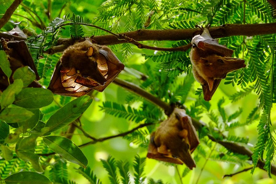 Chauve-souris dans le parc de la Pendjari, au Bénin.
