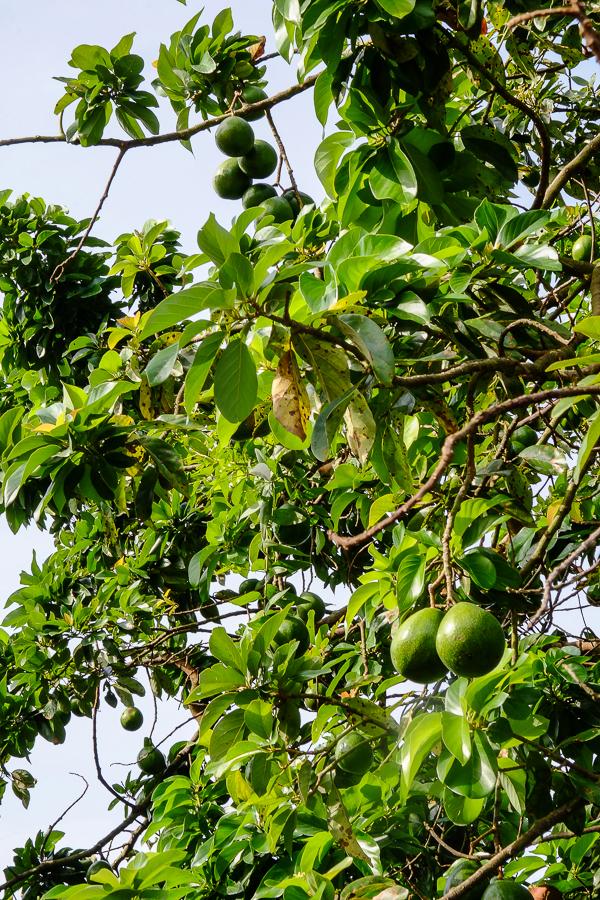 Avocats sauvages à Kpalime, au Togo.