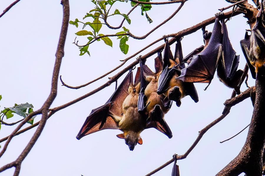 Ribambelle de chauve-souris à Kpalime, au Togo.