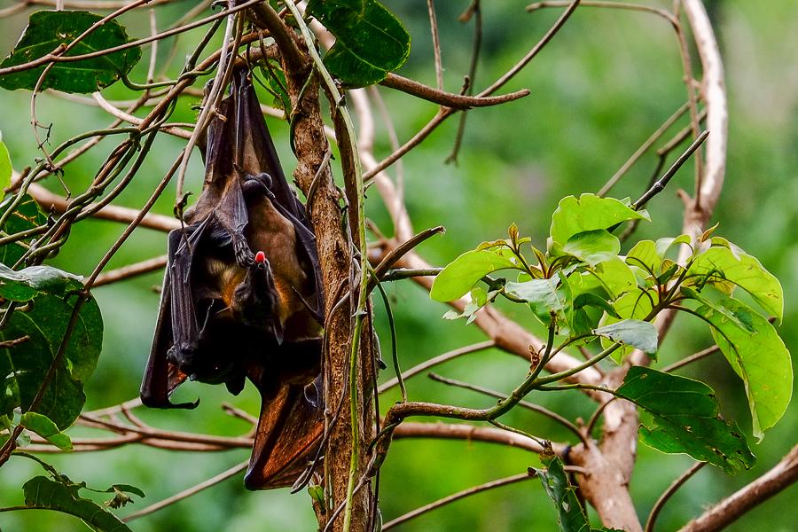 chauve-souris près de Kpalime, au Togo.