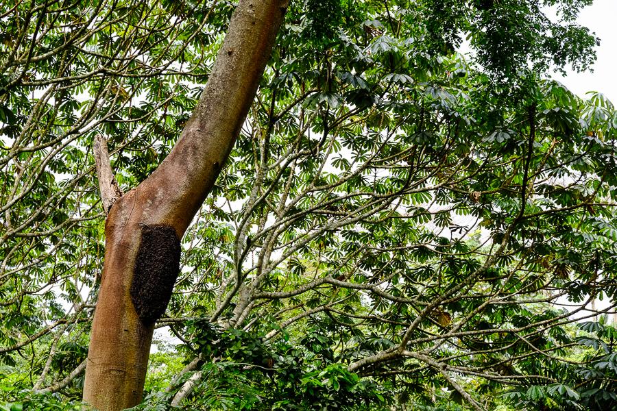 Fourmilière sur un arbre près de Kpalime, au Togo.
