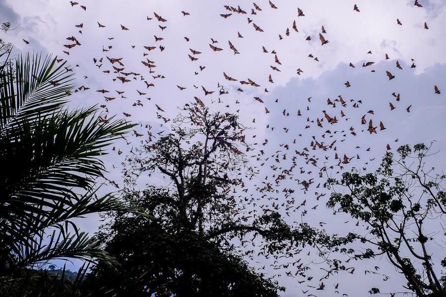 Dans la vallée des chauve-souris à Kpalime, au Togo.