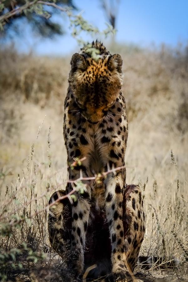 Guépard assoupi dans le Kgalagadi, Afrique du Sud.