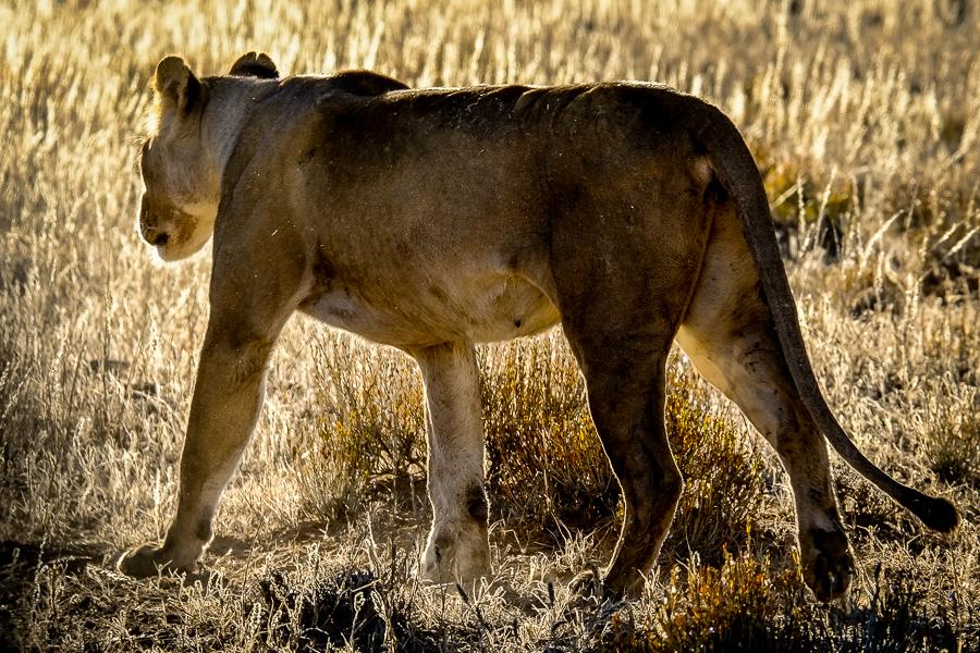 Lionne dans le parc du Kgalagadi, Afrique du sud.