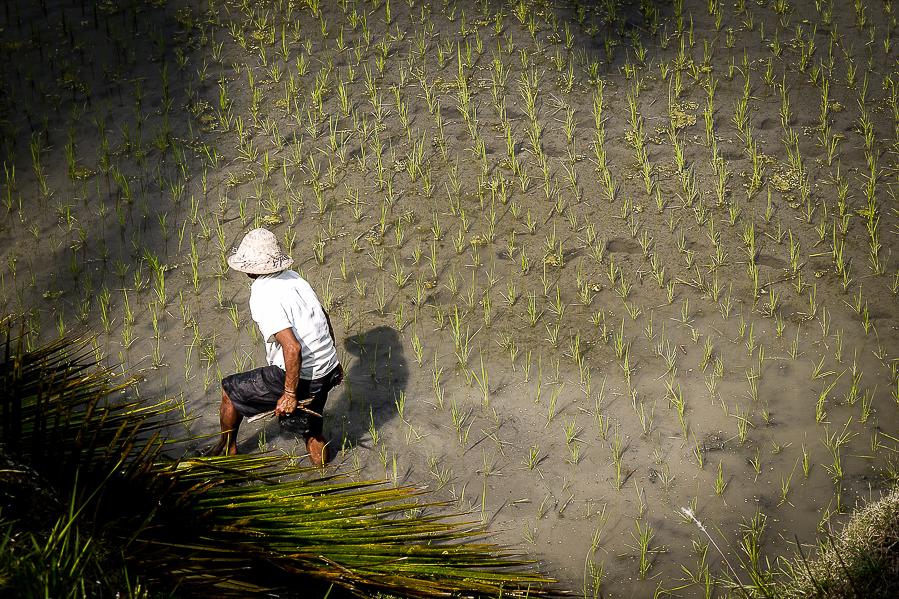 Dans une rizière, à Bali.