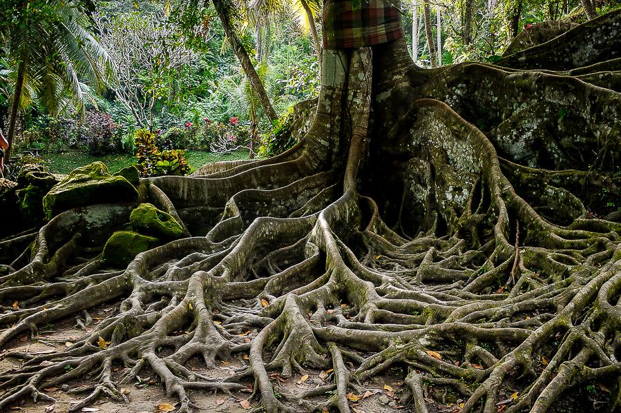 Racines de banian à Bali, Indonésie.