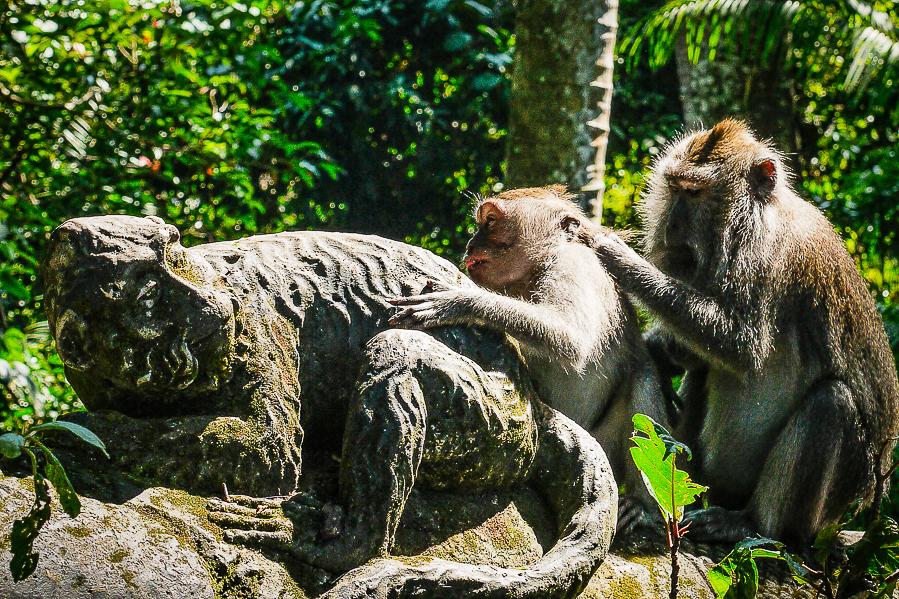 Singes de la Monkey Forest, à Ubud, Bali.