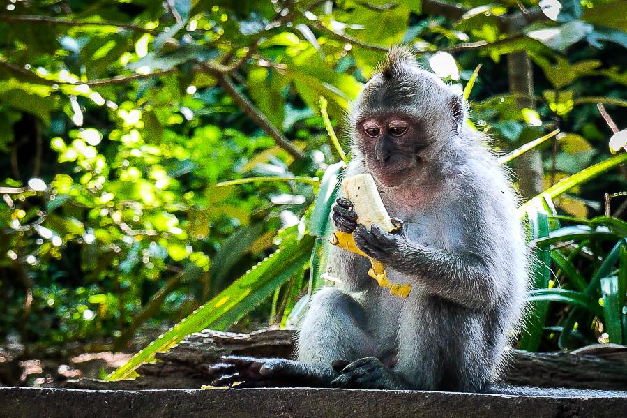 Singe mangeant une banane à Ubud, Bali.