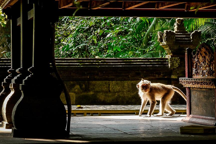 Singe dans un temple à Ubud, Bali.