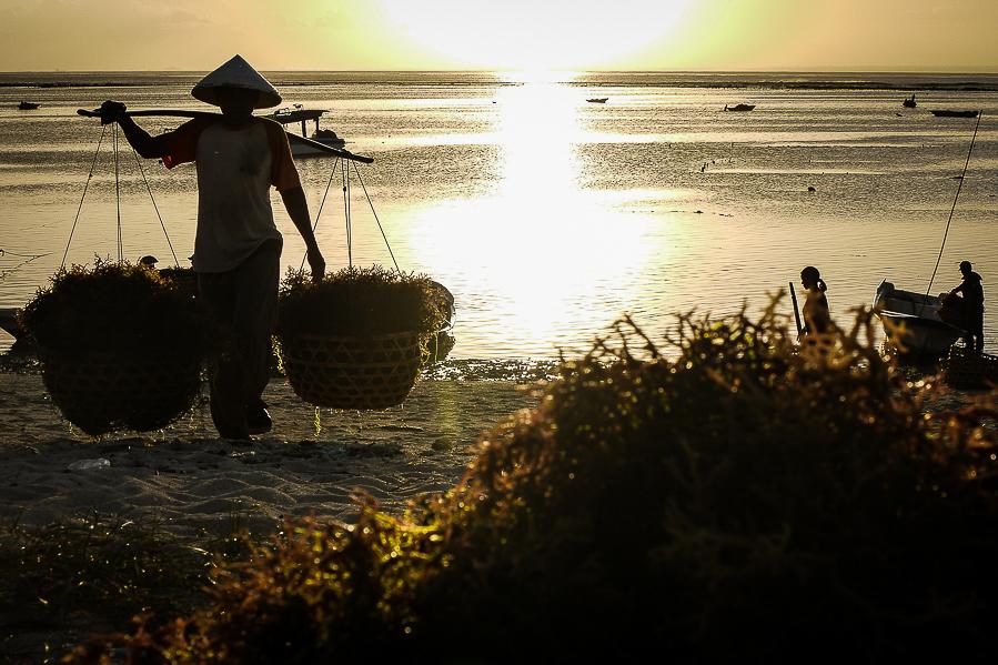 Cultivateur d'algues, Nusa Lembongan, Bali, Indonésie.