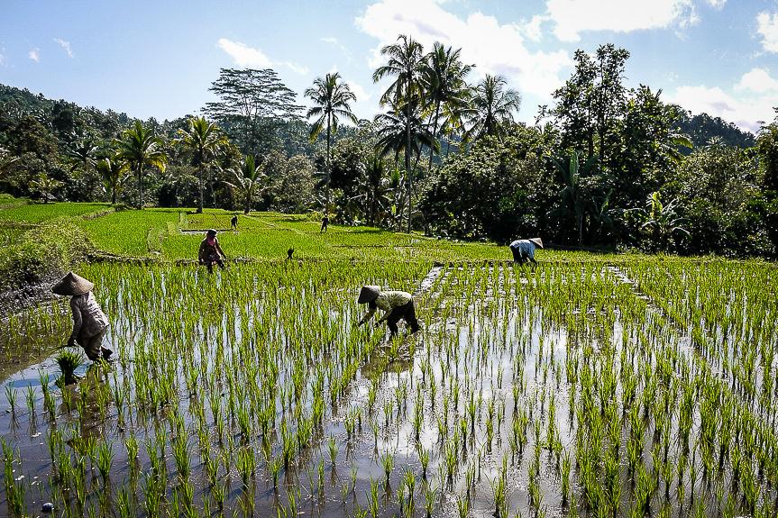 Rizières de Java, Indonésie.
