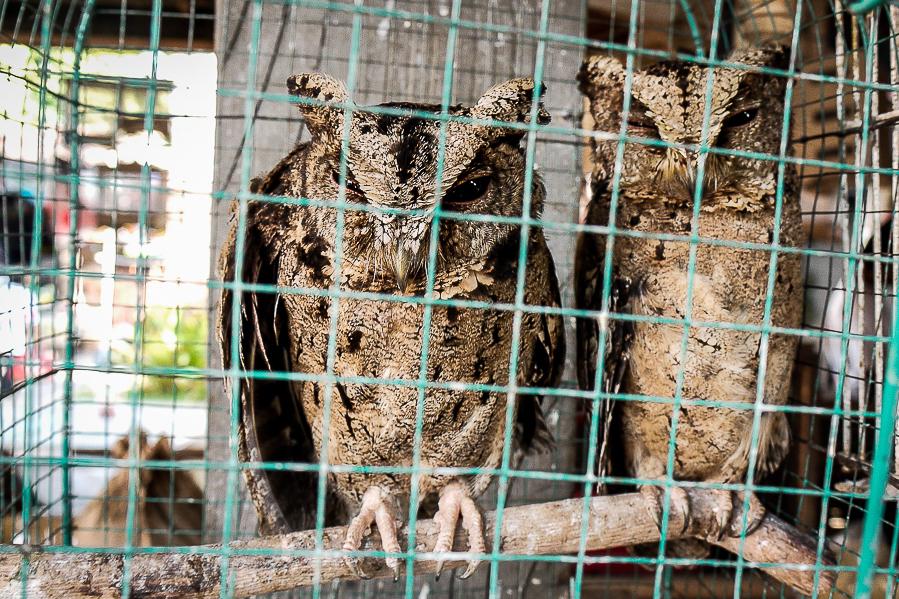 Hiboux sur le marché aux oiseaux de Yogyakarta, Indonésie.