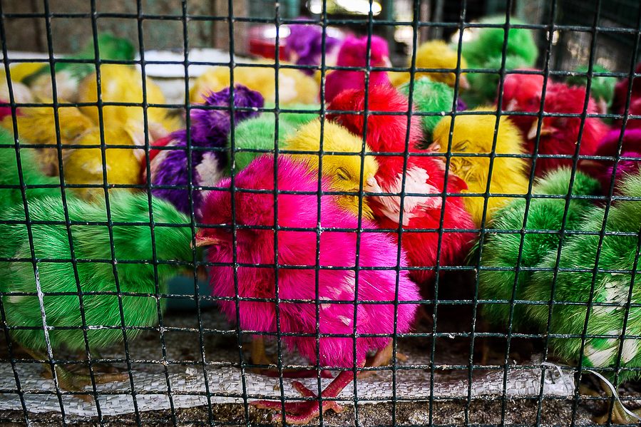 Poussins colorés à Yogyakarta, Indonésie.