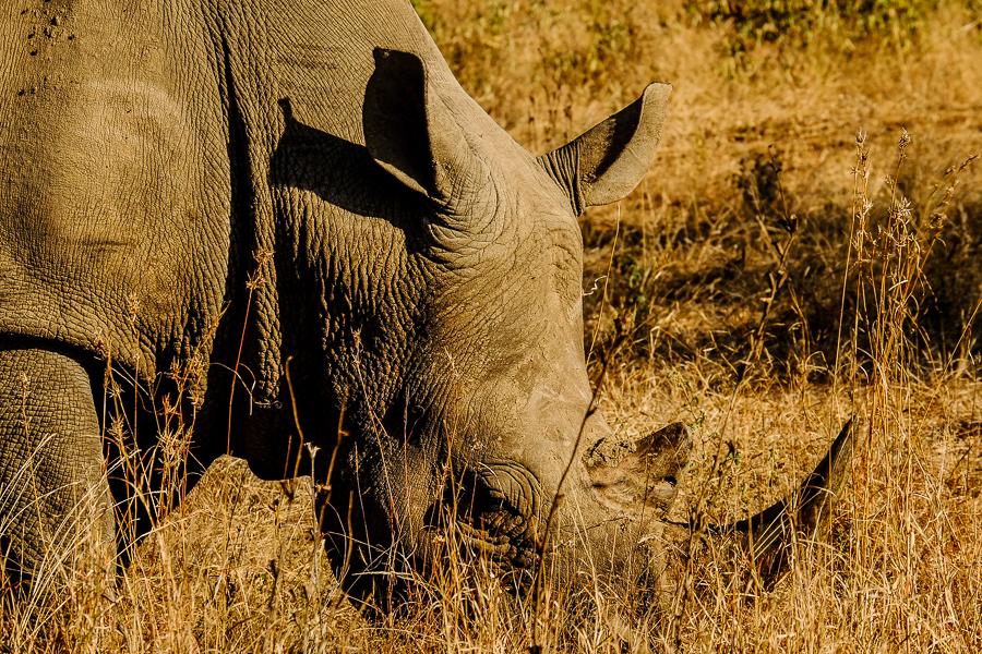 Rhinocéros blanc au parc Kruger, Afrique du Sud.