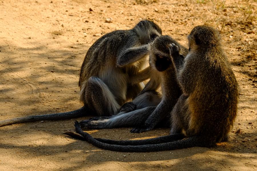 Vervets s'épouillant au parc Kruger, Afrique du Sud.