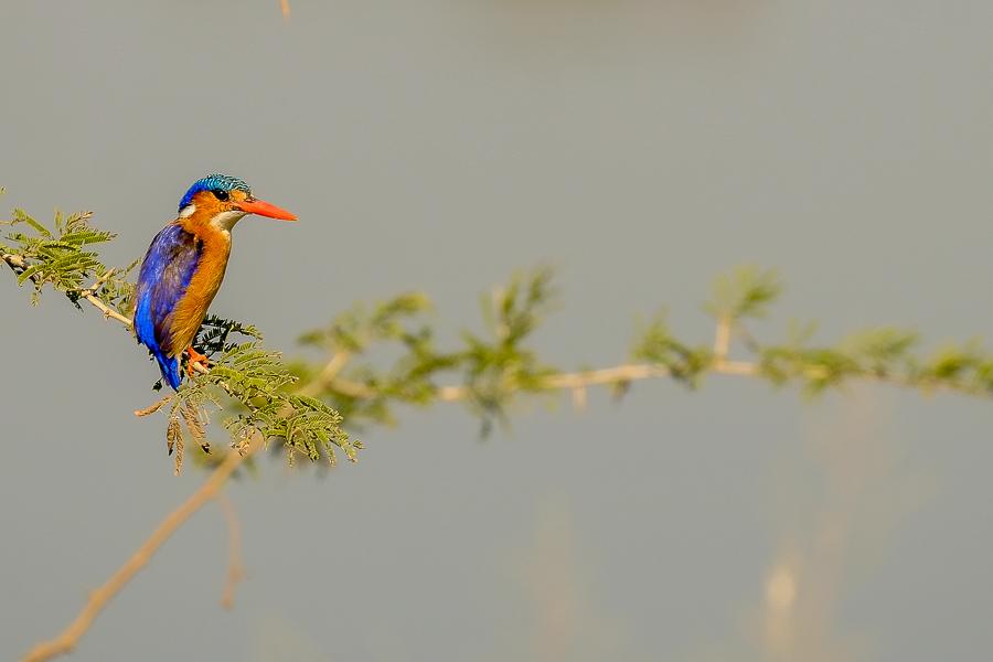 Martin pêcheur sur sa branche au parc Kruger, Afrique du Sud.