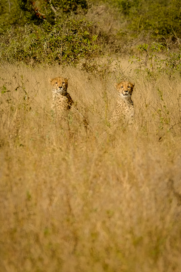 Guépards dans les herbes au parc Kruger, Afrique du Sud.
