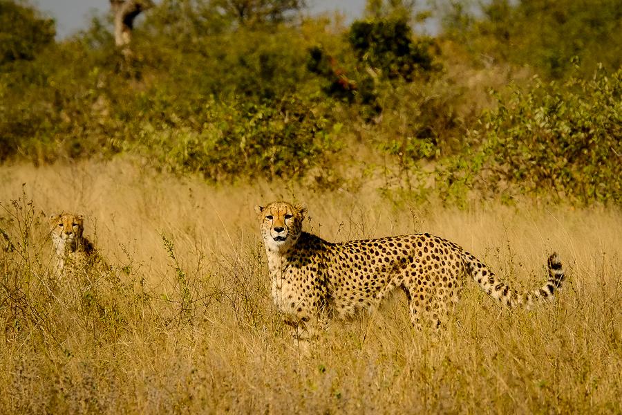 Guépards dans la savane au parc Kruger, Afrique du Sud.