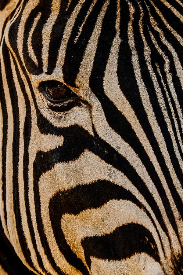 Portrait de zèbre au parc Kruger, Afrique du Sud.
