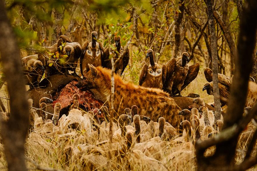Vautours et hyènes sur une carcasse de rhinocéros au parc Kruger, Afrique du Sud.