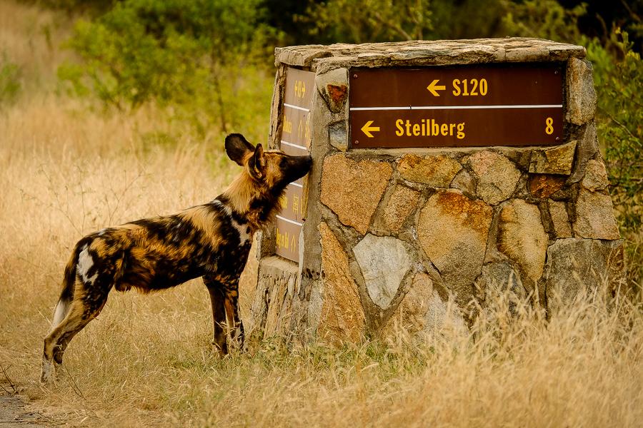 Lycaon au parc Kruger, Afrique du Sud.