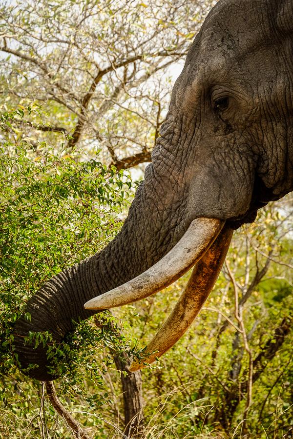 Profil d'éléphant au parc Kruger, Afrique du Sud.